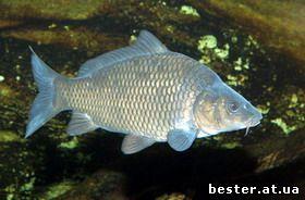 разведение рыбы карпа